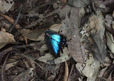 Diese blauen Schmetterlinge sind mega gross. Hier leider nur die Flügel.