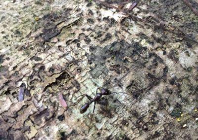Eine sehr grosse Ameise alleine unterwegs