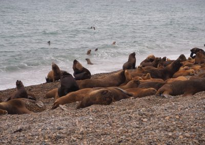 Eine Seelöwen-Kolonie räkelt sich gemütlich am Strand.