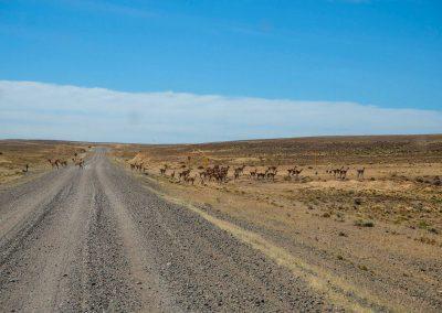 In der Pampa leben viele Guanacos.