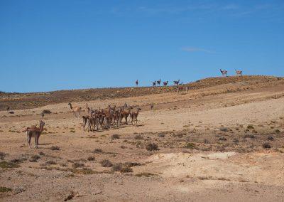 Doch diese Herde (mit Nandus) fand unser Auto genauso interessant wie wir sie.