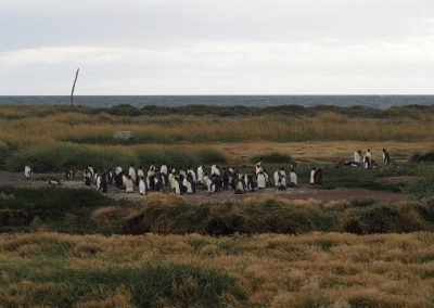Eine Pinguin-Kolonie…