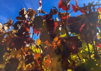 Die Reben leuchten in der Herbstsonne…