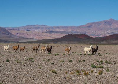 Eine bunte Schar von Llamas kreuzt unsern Weg.