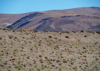 Da ist bei den Vicuñas schon mehr Bewegung drin.