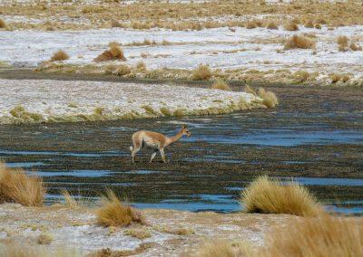 Auch die Vicuñas geniessen das Wasser.