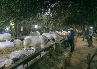 Viehverkauf. Wer bestaunt hier wen?