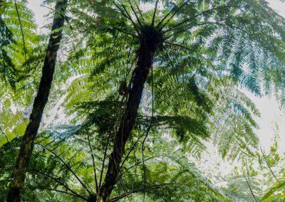 Diese Farnbäume sind selten und verstecken sich gut.