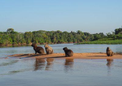 Eine Familie Capybara geniesst den Morgen auf einer Sandbank.