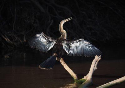 Dieser «Anhinga» trocknet seine Flügel in der Sonne.