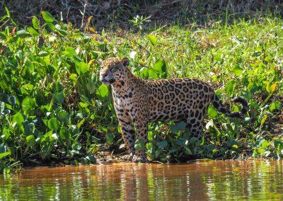 Und da taucht ein Jaguar am Ufer auf.