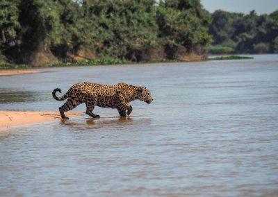 Für eine Beute schwimmt der Jaguar auch durch ganze Flüsse.