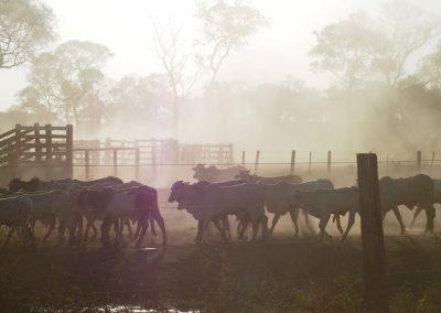 Am Abend kommen alle Rinder in den Pferch.