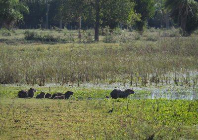 Eine ganze Familie Capybaras.