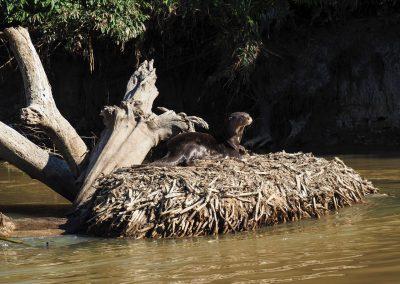 Ein Otter sonnt sich mitten im Fluss auf seinem Bau.