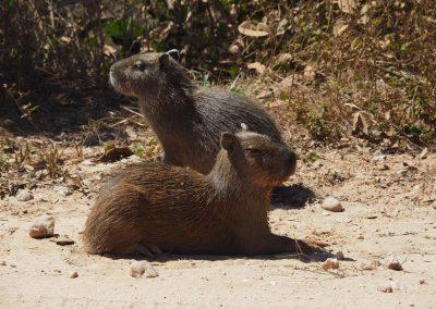 Ein paar Baby-Gapibaras sonnen sich am Strassenrand.