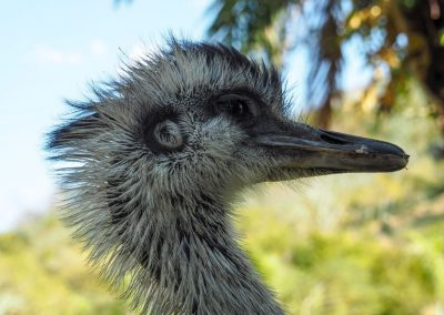 Ganz besonders das Ema-Männchen hat ein Auge auf uns geworfen.