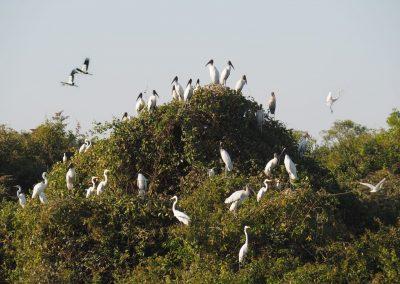 In den Büschen sitzen hunderte von weissen Reihern und Störchen.