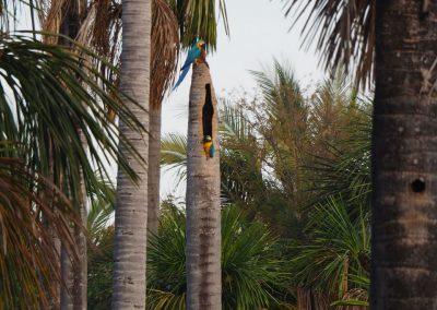 Die Aras suchen sich Nischen in den abgestorbenen Palmen.