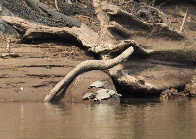 Eine Schildkrötenfamilie springt ins Wasser, als wir vorbeifahren.