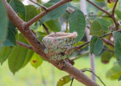 Ein kleines Kolibri Nest.