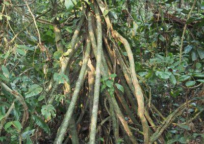 Diese Bäume wandern etwa 50 cm pro Jahr!