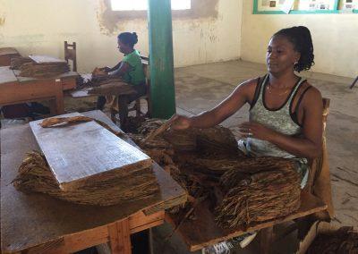 Die Frauen sortieren die getrockneten Tabakblätter nach Qualität.
