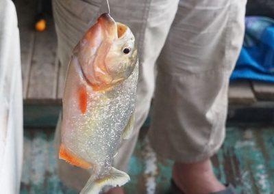 Eigentlich ein sehr schöner Fisch so ein Piraña.