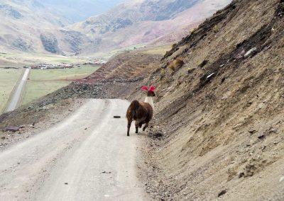 Und ein letztes Lama flieht vor uns.