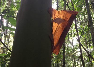 Dieser Baum schält sich.