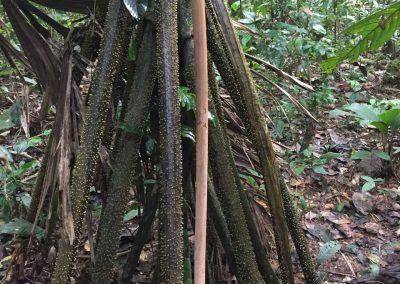 Hier wachsen die neuen Wurzeln dieses Baumes von oben nach unten. Das helle ist eine Neue.