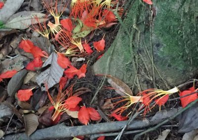 Die Blätter der Flor de Mayo helfen bei Menstruationsbeschwerden.