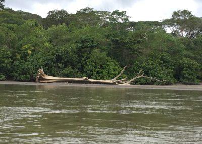 Riesige Bäume die geschält am Ufer liegen.