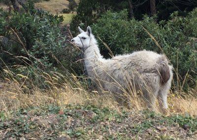 Das erste Lama (oder ist es ein al Paca?)