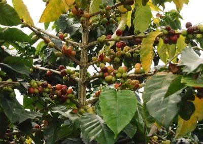 An einer Pflanze kann es grüne (unreife), gelbe und rote Beeren haben.