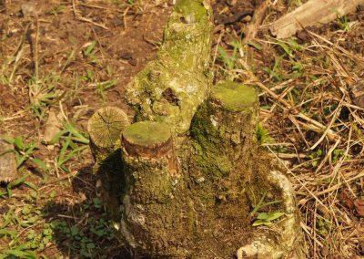 Dieser Baum wurde bereits dreimal geschnitten und hat jetzt ausgedient.