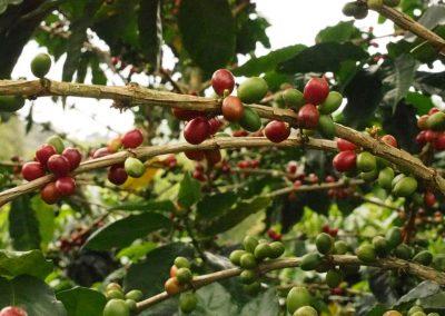 Kaffee-Finca