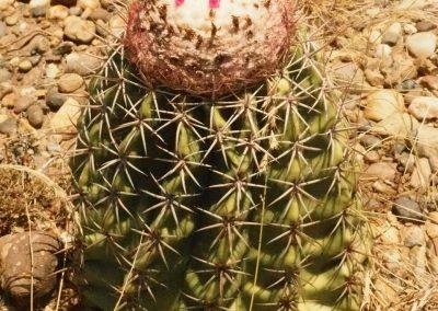 Jeder Kaktus hat eine kleine «Frucht»