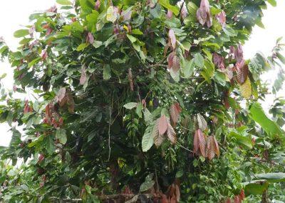 So sieht ein Cacao-Baum aus.