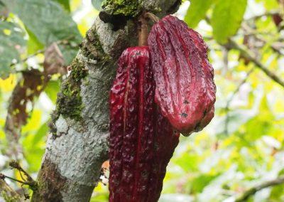 Und das sind die Cacao-Früchte.