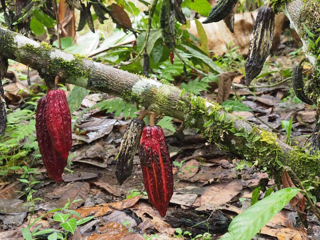 Sie wachsen direkt aus den Ästen und auch am Stamm des Baumes.