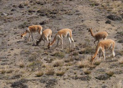 Wir sehen ganz viele der hübschen Vicuñas.