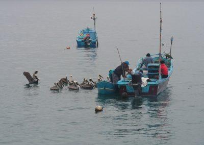 Die Pelikane streiten sich um die Fischabfälle.