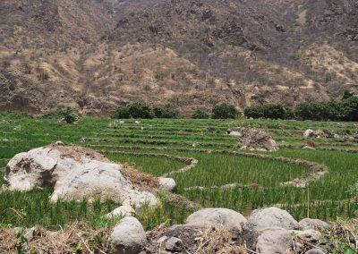 Reis wird hier angebaut.